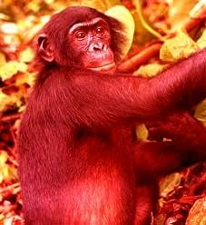 medium_bonobo.2.jpg